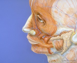 Left Profile, Human Facial Musculature.