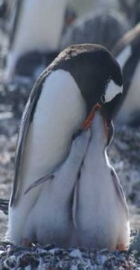 Gentoo Feeding Time. Copyright Lisa R. Withrow. Used with permission.