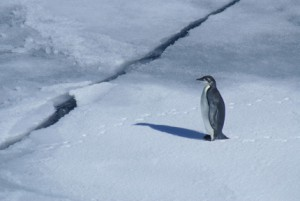 Emperor Penguin. Copyright Lisa R. Withrow. Used with permission.