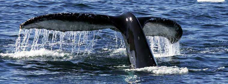 Humpback Whale. Copyright Michael S. Nolan. Used with permission.